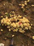 Frische Kartoffel für den Export des Arabien-Marktes