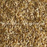 Colore approvato del grano dello SGS che ordina strumentazione