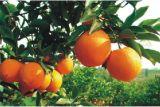Empaquetadora de la fruta Yh-388