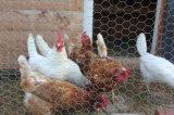 高品質の最もよい価格によって電流を通される六角形の金網の鶏の網