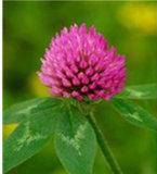Spitzenverkauf natürliches Formononetin 99% Puder vom roter Klee-Pflanzenauszug