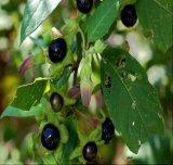 Estratto nero di Cohosh dei glicosidi del triterpene di alta qualità per menopausa