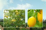 Reine natürliche/grüne Nahrung/gutes Geschmack-Zitrone-Fruchtsaft-Puder