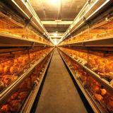 Camera di pollo automatica di strato con le gabbie e le attrezzature