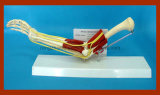 熱い販売の機能筋肉解剖教育モデルが付いている自然なサイズの肘の関節