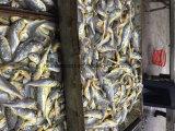 Ombrina gialla congelata frutti di mare Frozen, prezzo giallo dei pesci dell'ombrina