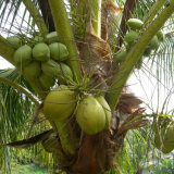 自然なココナッツミルクの粉の味