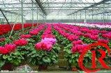 الصين يعلّب نوع عالمة [كول فن] لأنّ زهرة يزرع