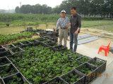 Bio fertilizante orgânico de Unigrow para a plantação da fruta de paixão