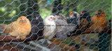 Rete metallica galvanizzata del pollo per le aziende avicole