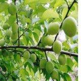 Oleanolic Säure des Lucidum Auszug-98% für das Weiß werden