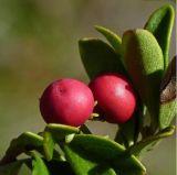 Estratto del foglio dell'uva orsina buon per Tranquilizing