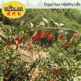 Ягода волка ягоды Goji мушмулы органическая высушенная
