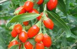 Wolfberry (Goji 장과)의 2016년 Ningxia 고품질 과일