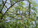Порошок Moringa естественного высокого качества Oleifera