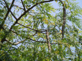 Natürliches Qualitäts-Moringa.oleifera-Puder