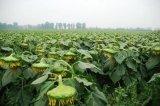 الصين [سونفلوور سد] خضراء 363