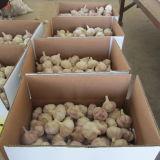 Цена чеснока нового чеснока урожая свежее