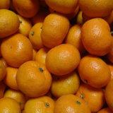 Esportazione del livello di qualità del mandarino fresco del bambino