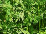 Extracto de Cyanotis Arachnoisea (β - Ecdysone) para los alimentos y complementa