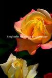 huile essentielle normale de 100%Pure Rose, huile raffinée de Rose
