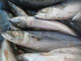 Ocean Marine Pacific Mackerel com melhor preço