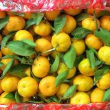 Exportando o padrão de qualidade do mandarino fresco do bebê