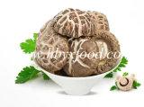 Новым грибы Shiitake урожая высушенные большим частью
