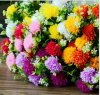 7 PCS Many Clours Big Chrysanthemum