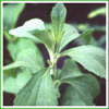 High Qulaity Stevia Powder on Sell