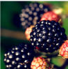Manufacturer of Blackberry Powder/Blackberry Jucie Powder