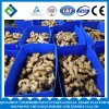 High Quality Organic Fresh Ginger for Sale