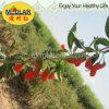 Medlar BCS Certificate Organic Goji Berry