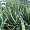 Manufacturer Supply Aloe Vera Plant Extract