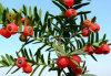 Paclitaxel 99%, Taxus Cuspidata Extract;