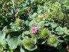 Manufacturer Natural Great Burdock Achene Extract Powder