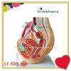 1: 1 Female Genital Urinary System Pelvis Model