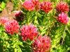 Rhodiola Rosea Extract, Rosavin, Rosavins