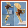 Human R-Hip Skeleton Joint Funtion Model with Ligament