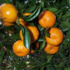 Chinese High Quality Fresh Baby Mandarin