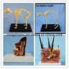 Biological Teaching Anatomical Animal Ear Model Dog Sick and Health Ear Model