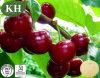 Supply Acerola Cherry Extract Natural Vitamin C
