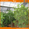 Multi-Span Structure Film Greenhouse with Substrate Culture
