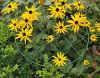 Grid Grow Through Support for Rudbeckia Hirta