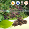 High Quality Herbal Medicine Rhizoma Chuanxiong