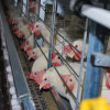 H Type Chicken Layer Cage with Automatic Drinker Feeder System