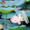 100% Natural Lotus Leaf Extract (Nuciferine 2%, 10%, 98%)