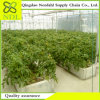 Multi Span PC Sheet Hydroponic Greenhouse Agriculture