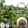 Oolong Tea Extract Pholyphenols 20%-80%