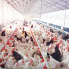 Whole Poultry Farming Equipment for Broiler and Breeders